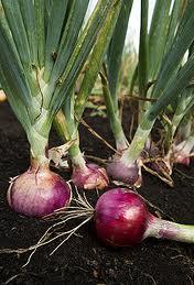 onions_4.jpg