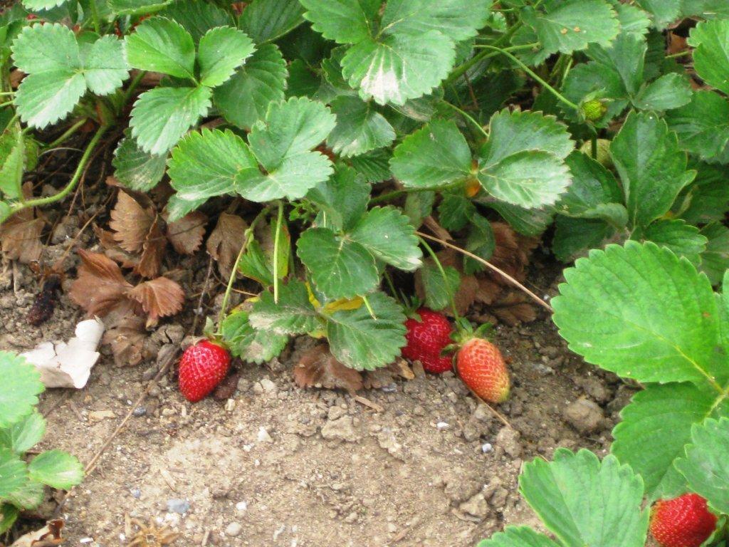 strawberry_pic_2.jpg